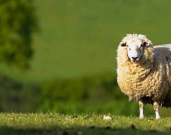 A sheep and a lamb look on in a green field covered by smallholding insurance with Acres Insurance Brokers