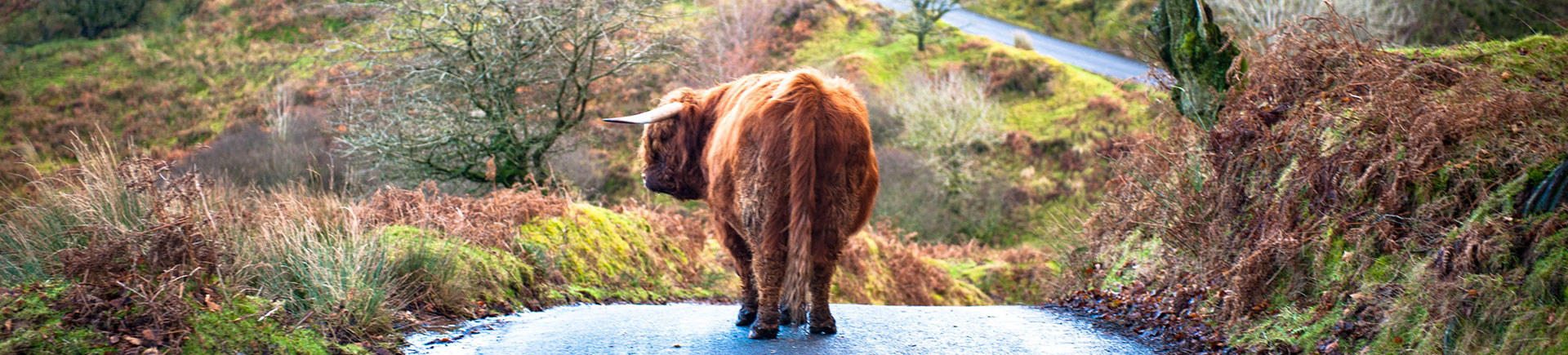 A bull in the middle of a country lane, close to Acres Insurance Brokers head office